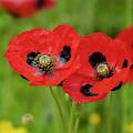 Ladybird Poppies by Jonathan Hansen