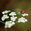 Ladybug In White by David Cutts