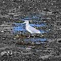 Land Bridge Gull by Patti Whitten