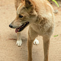 Large Australian Dingo Outside by Rob D Imagery