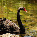Large Black Swan. by Rob D Imagery