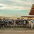 Large Dairy Operation by Todd Klassy