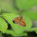 Large Skipper Butterfly by Scott Lyons