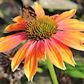 Last Cone Flower by Leslie Gatson-Mudd