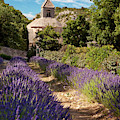 Lavender At Senanque by Brian Jannsen