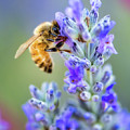 Lavender Bee by Nicole Young