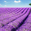 Lavender Field And Tree In Summer by Matteo Colombo