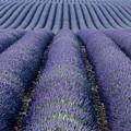 Lavender Fields Forever by Brian Jannsen