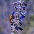 Lavender Nectar by Janice Pariza