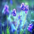 Wild Lavender by Susan Warren