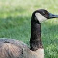 Lazy Goose by Jonathan Hansen