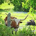 Lazy Longhorn Day In The Country by Lynn Bauer