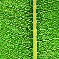 Leaf Veins by Jeff Phillippi