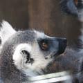 Lemur Baby by David Resnikoff