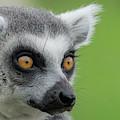 Lemur Orange Eyes by Scott Lyons