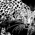 Leopard Black And White by David Millenheft