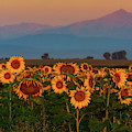 Light Of The Sunflowers by John De Bord