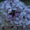 Lilac Blooms by Dale Kauzlaric