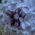 Lilac Buds by Dale Kauzlaric