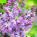 Lilac Flowers by Christina Rollo