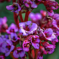 Lilac #h9 by Leif Sohlman