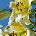 Lilies In The Sky by Robert Potts