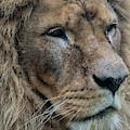 Lion by Anjo Ten Kate