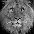 Lion King by Tazi Brown