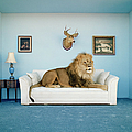 Lion Lying On Couch, Side View by Matthias Clamer