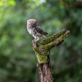 Little Owl Evil Perch by Framing Places