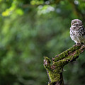 Little Owl Perching #3 by Framing Places