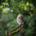 Little Owl Shy by Framing Places