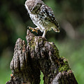 Little Owl Strop by Framing Places