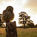 Little Owl Sunset by Allen Trivett
