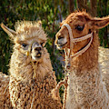 Llama Love by Jon Exley