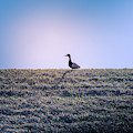 Lone Duck by Dan Sproul