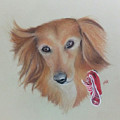 Long Haired, Miniature Dachshund by Catt Kyriacou