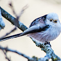 Long Tailed Tit Perching On A Twig by Torbjorn Swenelius