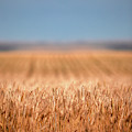Long Wheat by Todd Klassy