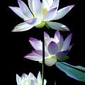 Lotus Blooms by Julie Palencia