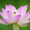 Lotus Flower And Bumble Bee by Todd Henson