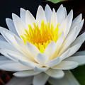 Lotus Gold by Marvin Spates