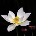 Lotus Loving The Sunshine by Sabrina L Ryan