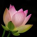 Lotus Squared by Sabrina L Ryan