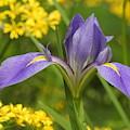 Louisiana Iris by Charlotte Schafer