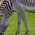 Love Zebras by Susan Rydberg
