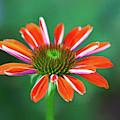 Lovely Orange Flower by Anna Louise