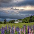 Lupine Barn by Darylann Leonard Photography
