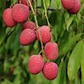 Lychee Fruit On Branch by Bradford Martin