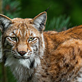Lynx by Arterra Picture Library